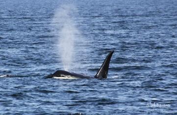 2015-08-orcas_t010s-0018e