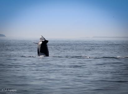 2015-08-orcaspugetsound-0029-3