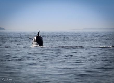 2015-08-orcaspugetsound-0031