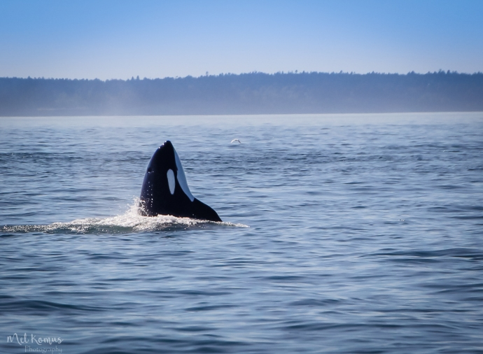 2015-08-orcaspugetsound-0039