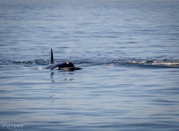 2015-08-orcaspugetsound-0047